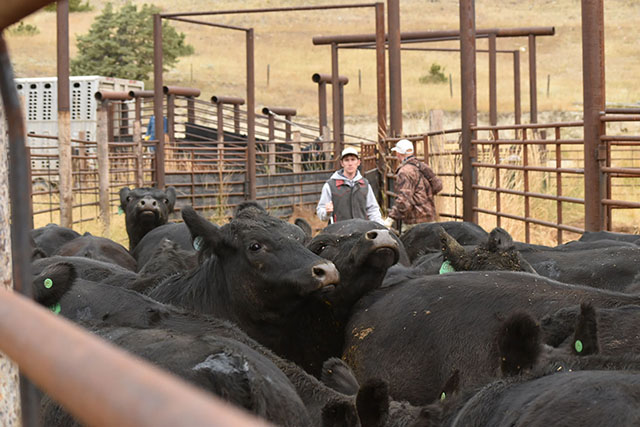 Working Cattle Loading Trucks Galt Ranch